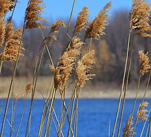 Reeds in the wind by Richard Lee