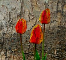 Tulips Against Bark by Fara