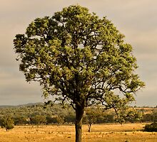 Tree (Bonshaw, NSW) by Julia Ott