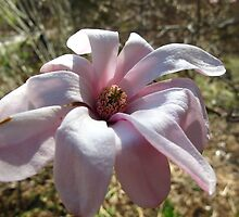 Magnolia sweetness by MarianBendeth