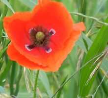 Heart of Red Poppy by Navigator