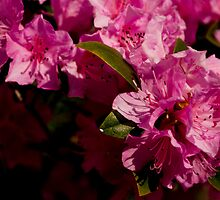 Pink Azaleas in the Urban Jungle VIII by Shadrags