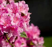 Pink Azaleas in the Urban Jungle IX by Shadrags
