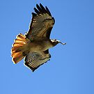 Red Tail Hawk Building Nest by DARRIN ALDRIDGE