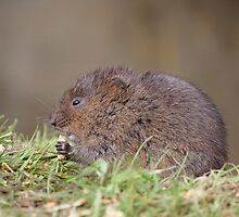Water Vole by Gill Langridge