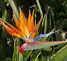 Strelitzia - National Flower of Madeira by AnnDixon