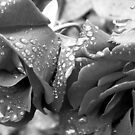 Raindrops on Roses II by KathyBurke