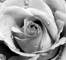 Raindrops on Roses III by KathyBurke