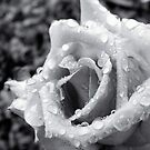 Raindrops on Roses IX by KathyBurke