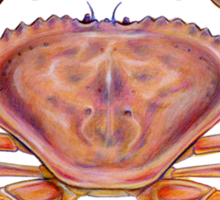 Dungeness Crab (Metacarcinus magister) Sticker