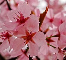 Spring Blossom by Deb Maidment