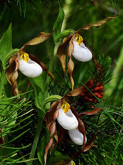 Mountain Lady Slipper Orchid - Cypripedium montanum by Digitalbcon