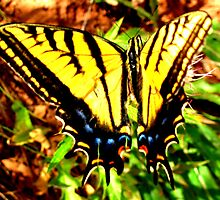 Swallowtail in Zion by Christine Ford