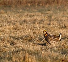 Last Prairie Chicken on the Booming Grounds  by Thomas Young