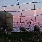 Sheep Grazing at Sunset by Nevermind the Camera Photography
