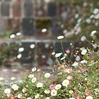 Erigeron karvinskianus by Matthew Folley