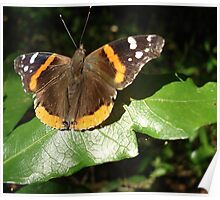 RED ADMIRAL BASKING IN THE EVENING SUN Poster