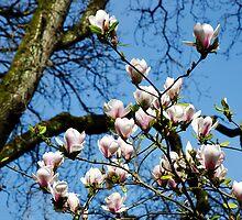 Magnolia Tree ~ Abbotsbury Gardens by Susie Peek