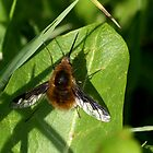 Bee Fly by jesika