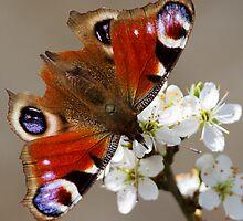 Spring Peacock Butterfly by Neil Bygrave (NATURELENS)