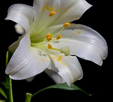 Easter Lily - Lilium longiflorum by Megan Noble