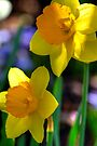 Daffodils in Denver by Light Right Photos