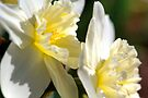 White Daffodils by Light Right Photos