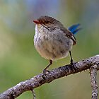 Female Splendid Fairy-wren by mncphotography