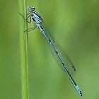Common blue damselfly by Stacey  Purkiss