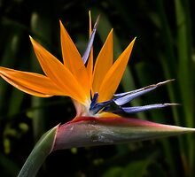 Bird of paradise by Celeste Mookherjee