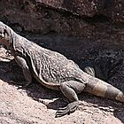 """This is really my Best Side"" - Las Vegas Chuckwalla Lizard by Leslie van de Ligt"