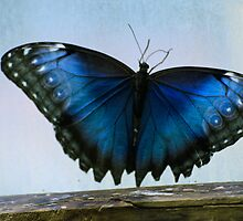 Common Blue Morpho~ for Viv by cherylc1