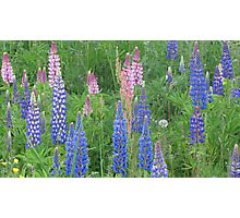Shimmering Lupin Light Nr 9 Photographic Print