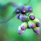 Soft Focus Ragwort Buds by Anita Pollak