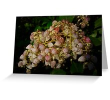 Andromeda Shrub - Pieris japonica - Lily of the Valley Bush Greeting Card