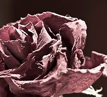 Faded (er - Desaturated) Rose by Buhruce