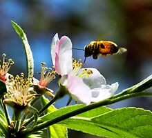 Apple Blossom & Honey Bee by Sharon Woerner