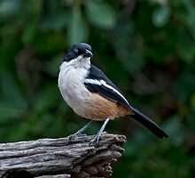 Southern Boubou by Warren. A. Williams