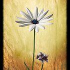 Daisy by Phoxford