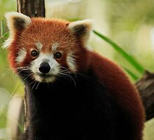 Gorgeous Red Panda by Sea-Change