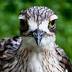 Bush Stone Curlew -  Mount Rothwell Vic Oz by john  Lenagan