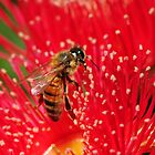 Bee sitting on a red-flowering gum by Heather Samsa