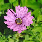 Purple Daisy by Heather Samsa