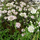 Astrantia Florence by Circe Lucas