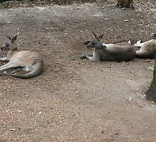 Kangaroo's  by K9angel11
