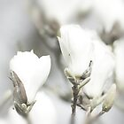 Simply white - magnolia blossom by Magdalena Warmuz-Dent