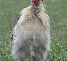 Silkie or 50's B Movie Monster? by Barrie Woodward