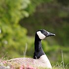 Nesting Canada Goose by CormacEby
