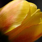 June Tulip by CormacEby