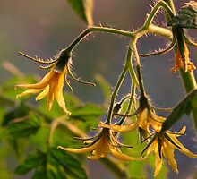 Tomato Blossoms by CormacEby